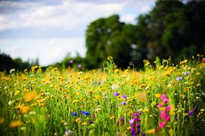 meadow of wild flowers